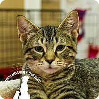 Domestic Shorthair Kitten for adoption in Baton Rouge, Louisiana - Damon