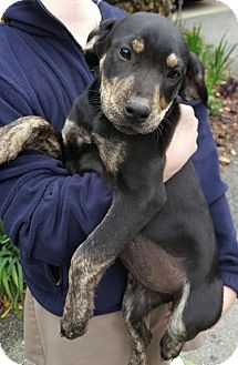 Labrador Retriever/Shepherd (Unknown Type) Mix Puppy for adoption in Allentown, New Jersey - Lulu