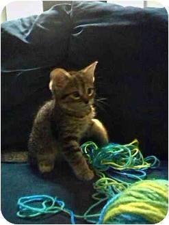 Domestic Shorthair Kitten for adoption in Haughton, Louisiana - Ash