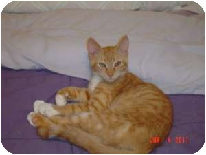 Oriental Cat for adoption in Medford, New Jersey - Mickey