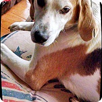 Adopt A Pet :: Harrington - Franklinton, NC