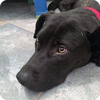 Labrador Retriever Mix Dog for adoption in Oakley, California - Henry