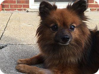 Pomeranian Mix Dog for adoption in Bronx, New York - Roxy