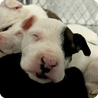 American Bulldog/German Shepherd Dog Mix Puppy for adoption in Alpharetta, Georgia - Springfield