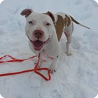 American Bulldog/Pit Bull Terrier Mix Dog for adoption in Acushnet, Massachusetts - Romeo