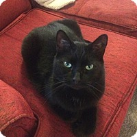 Domestic Shorthair Cat for adoption in Stockport, Ohio - Lum