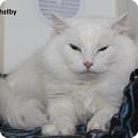 Domestic Shorthair Cat for adoption in Madisonville, Tennessee - Shelby