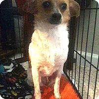 Adopt A Pet :: Jingles (DENVER) - Fort Collins, CO