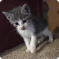 Adopt A Pet :: Nico - Tonawanda, NY