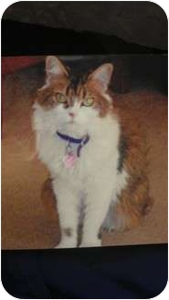 Domestic Longhair Cat for adoption in Staten Island, New York - Madison