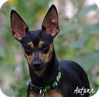 Miniature Pinscher/Dachshund Mix Puppy for adoption in Syracuse, New York - Autumn