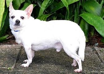 Chihuahua Dog for adoption in Sebastian, Florida - Tito