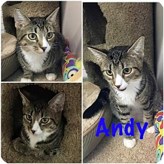 Domestic Shorthair Cat for adoption in Land O Lakes, Florida - Andy