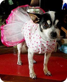 Chihuahua Mix Dog for adoption in Gilbert, Arizona - Gwen