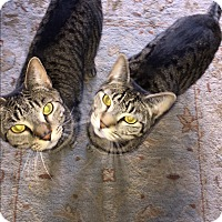 American Shorthair Cat for adoption in Brooklyn, New York - Max