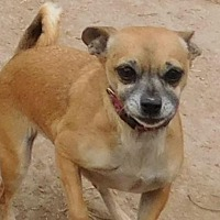 Chihuahua Mix Dog for adoption in Pipe Creek, Texas - Maddie