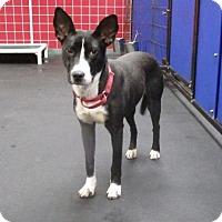 Adopt A Pet :: Spirit - Indianapolis, IN
