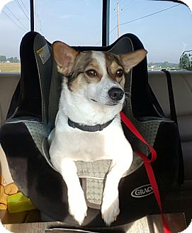 Jack Russell Terrier Mix Dog for adoption in Hawk Point, Missouri - Scooter