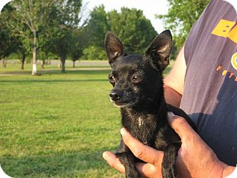 Chihuahua Dog for adoption in Greenville, Rhode Island - Thelma