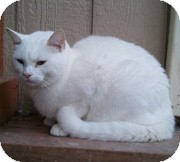 Domestic Shorthair Cat for adoption in Anchorage, Alaska - Snowball