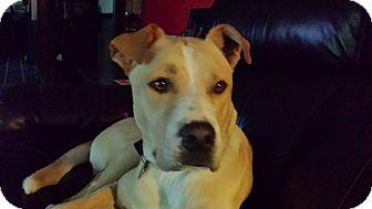Labrador Retriever/Boxer Mix Dog for adoption in Homewood, Alabama - Max