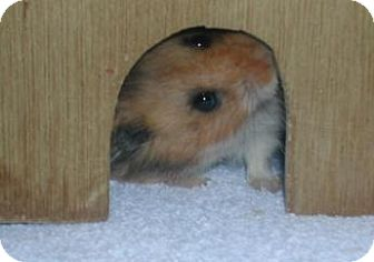 Hamster for adoption in Newburgh, Indiana - Neo
