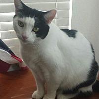 Domestic Shorthair Cat for adoption in Chino, California - Bossie