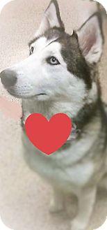 Siberian Husky Dog for adoption in Pittsburgh, Pennsylvania - Saberna