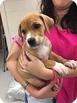 Labrador Retriever/Hound (Unknown Type) Mix Puppy for adoption in Cumming, Georgia - Zooey-Lexi's Pup