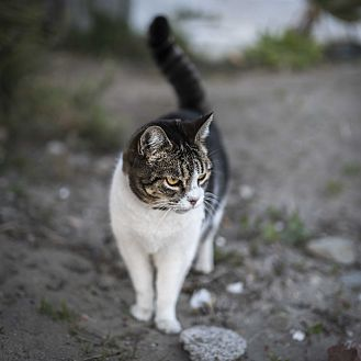 Domestic Shorthair Cat for adoption in Colville, Washington - Working Cats