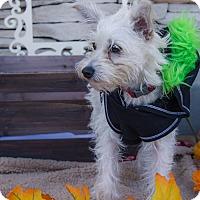 Norfolk Terrier Mix Puppy for adoption in La Verne, California - Keanu