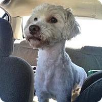 Adopt A Pet :: Scotty - San Diego, CA