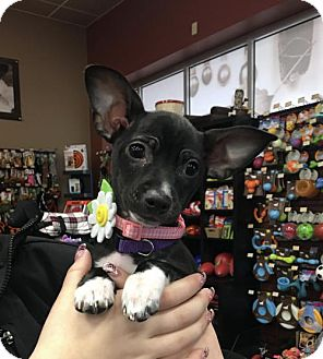 Rat Terrier/Chihuahua Mix Puppy for adoption in Keyport, New Jersey - Noel