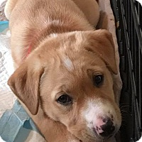 Adopt A Pet :: Luck O' The Irish Puppies - Franklinville, NJ