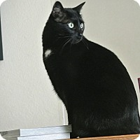 Domestic Shorthair Kitten for adoption in Des Moines, Iowa - Clove