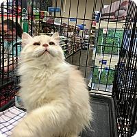 Adopt A Pet :: Scarlet - Pittstown, NJ