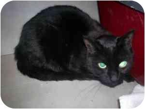 Domestic Shorthair Cat for adoption in Markham, Ontario - Sabrina