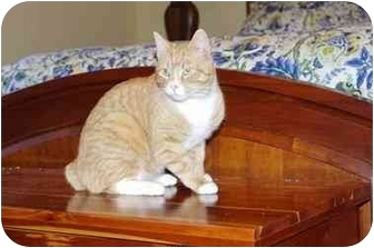 Manx Cat for adoption in Greenville, South Carolina - Rigby