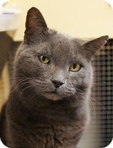 Domestic Shorthair Cat for adoption in Medford, Massachusetts - Ketzal