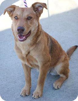 Shepherd (Unknown Type) Mix Dog for adoption in Red Bluff, California - Kota