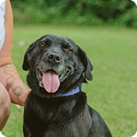 Labrador Retriever/Retriever (Unknown Type) Mix Dog for adoption in Carlisle, Tennessee - Raven