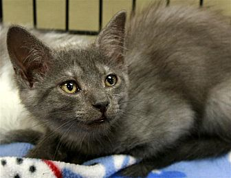 Domestic Shorthair Cat for adoption in Fairfax Station, Virginia - Bee