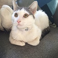 Domestic Shorthair Cat for adoption in New York, New York - Chardonnay