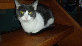 Domestic Shorthair Cat for adoption in Iroquois, Illinois - Faith