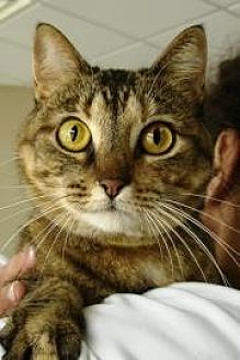Domestic Mediumhair Cat for adoption in Ft. Lauderdale, Florida - Bubbles