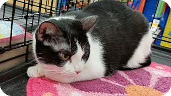 Domestic Shorthair Cat for adoption in Houston, Texas - Glory