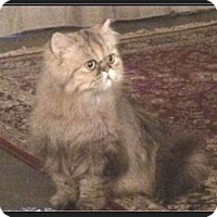 Adopt A Pet :: Eva Antoinette - Gilbert, AZ