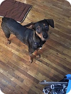 Hound (Unknown Type)/Dachshund Mix Dog for adoption in Valley Stream, New York - Willis