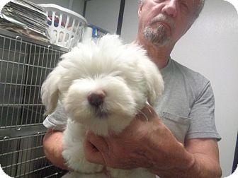 Cockapoo Puppy for adoption in Greencastle, North Carolina - Sam
