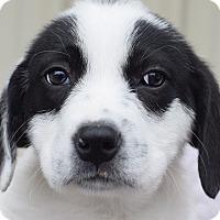 Adopt A Pet :: Tempest - Denver, CO